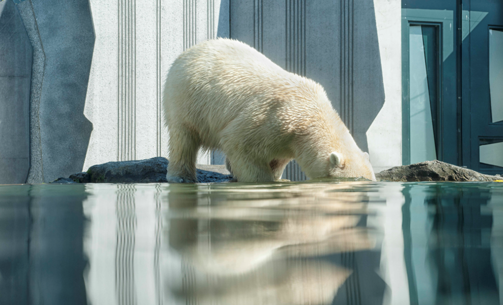 Ice Ice Baby | How much does a polar bear weigh? | Focus Rooms | Blog
